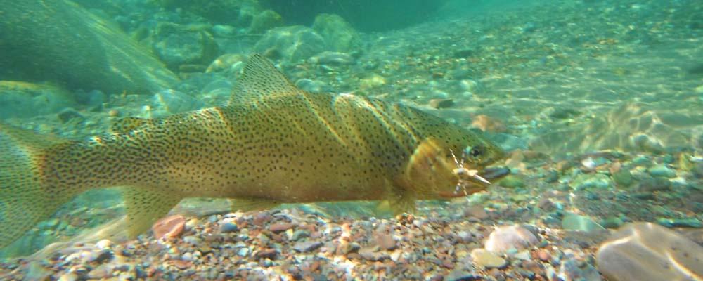 Blackfoot river fly fishing montana fishing company for Montana fish company